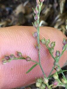 Lechea tenuifolia - Joey Shaw