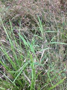 Leersia oryzoides - Dwayne Estes