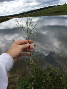 Lepidium virginicum ssp. virginicum - Joey Shaw