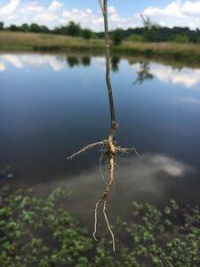 Lepidium virginicum ssp. virginicum - Theo Witsell