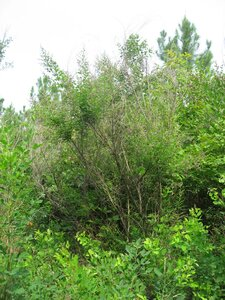 Lespedeza bicolor - Tara Littlefield