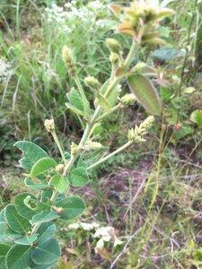 Lespedeza hirta ssp. hirta - Dwayne Estes