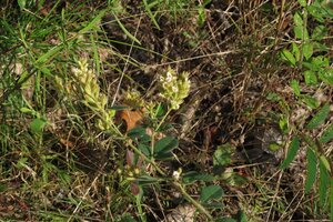 Lespedeza hirta ssp. hirta - Milo Pyne