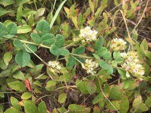 Lespedeza hirta ssp. hirta - Theo Witsell