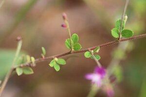 Lespedeza procumbens - Ashley B. Morris
