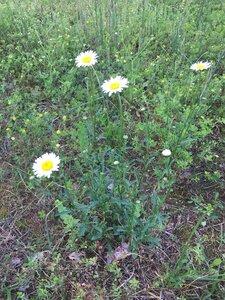 Leucanthemum vulgare - Dwayne Estes