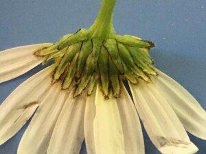 Leucanthemum vulgare - Joey Shaw