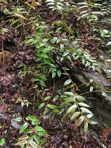Leucothoe fontanesiana - Joey Shaw