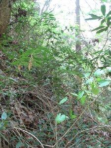 Leucothoe fontanesiana - Tara Littlefield