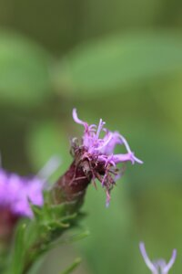 Liatris cylindracea - Ashley B. Morris