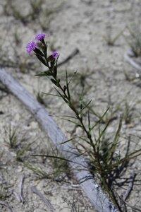 Liatris cylindracea - Dwayne Estes