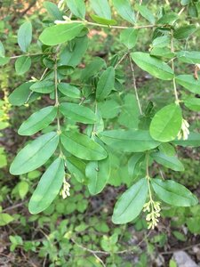 Ligustrum obtusifolium - Dwayne Estes
