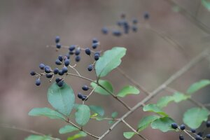 Ligustrum sinense - Ashley B. Morris