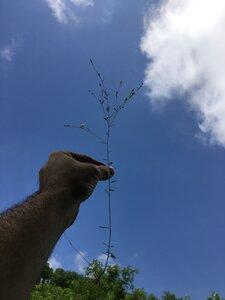 Linum virginianum - Dwayne Estes