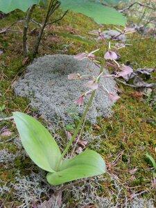 Liparis liliifolia - Dwayne Estes