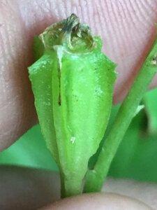 Liparis liliifolia - Joey Shaw