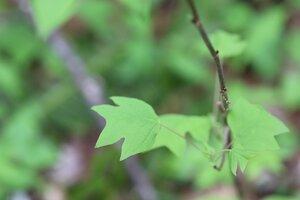 Liriodendron tulipifera - Ashley B. Morris