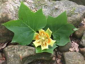 Liriodendron tulipifera - Tara Littlefield