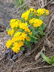 Lithospermum canescens - Alaina Krakowiak