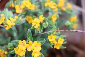 Lithospermum canescens - Ashley B. Morris