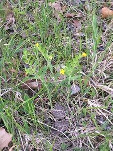 Lithospermum canescens - Dwayne Estes