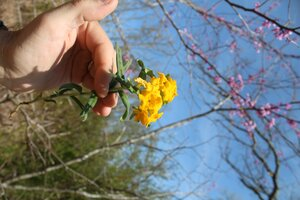 Lithospermum canescens - Joey Shaw