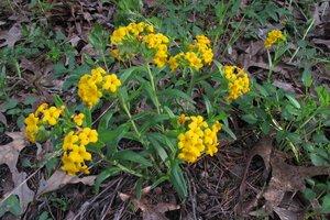 Lithospermum canescens - Milo Pyne