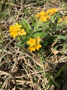 Lithospermum canescens - Shawn Krosnick
