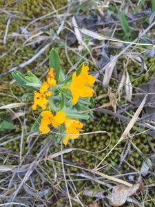 Lithospermum canescens - Sunny Fleming