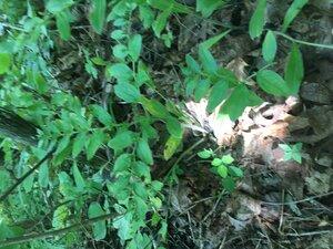Lithospermum latifolium - Tara Littlefield