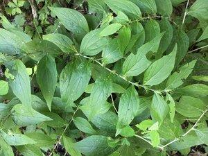 Lithospermum latifolium - Theo Witsell