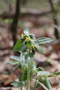 Lithospermum tuberosum - Ashley B. Morris