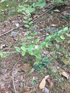 Lithospermum tuberosum - Dwayne Estes