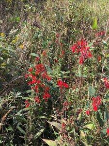 Lobelia cardinalis - Dwayne Estes