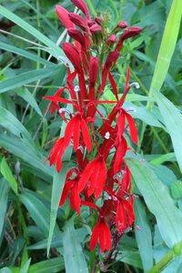Lobelia cardinalis - Joey Shaw