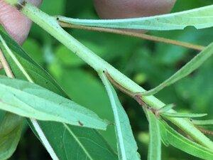 Ludwigia alternifolia - Joey Shaw