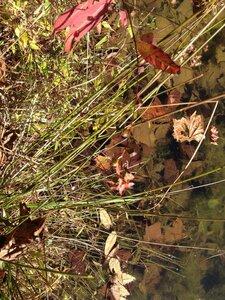 Ludwigia alternifolia - Milo Pyne