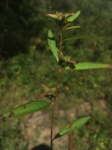 Ludwigia alternifolia - Theo Witsell