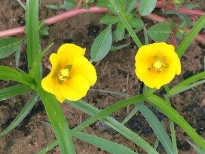 Ludwigia peploides ssp. glabrescens - Dwayne Estes