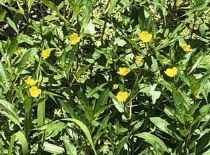 Ludwigia peploides ssp. glabrescens - Milo Pyne