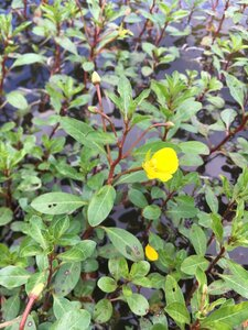 Ludwigia peploides ssp. glabrescens - Theo Witsell