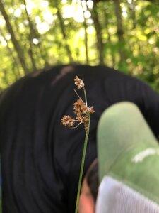 Luzula echinata - Dwayne Estes
