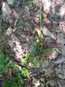 Lycopodium clavatum - Tara Littlefield