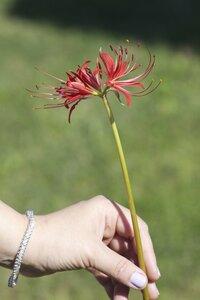 Lycoris radiata - Dwayne Estes