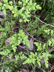 Lygodium japonicum - Dwayne Estes