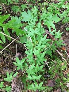 Lygodium palmatum - Dwayne Estes