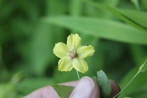 Lysimachia ciliata - Dwayne Estes