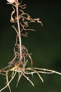 Lysimachia lanceolata - Dwayne Estes