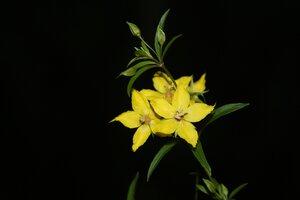 Lysimachia lewisii - Dwayne Estes