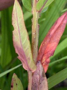 Lythrum alatum - Dwayne Estes